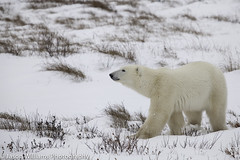"Polar Bear in Churchill along the Hudson Bay. • <a style=""font-size:0.8em;"" href=""http://www.flickr.com/photos/92120860@N06/8454775028/"" target=""_blank"">View on Flickr</a>"