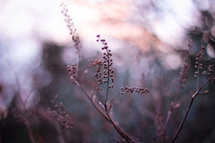 Winter evening glow (ShiningBlowball) Tags: winter light plant evening glow bokeh 50mm18 canoneos600d