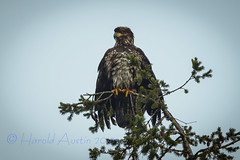 Bendover (ausmc_1) Tags: canada bird eagle britishcolumbia vancouverisland raptor febuary portalberni 2013 baldeaglehaliaeetusleucocephalus nikon300f4 highqualityanimals nikon17tce