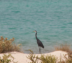 Black-headed Heron |    (Abdulrahman AlShetwi) Tags: sea plant bird beach water animal canon sand ardea ardeidae       melanocephala