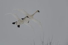 Swans in Flight_40866.jpg (Mully410 * Images) Tags: winter snow cold bird ice birds birding swans birdsinflight fowl waterfowl birdwatching birder trumpeterswans minnesotariver burdr mrvnwr minnesotarivervalleynationalwildliferefuge
