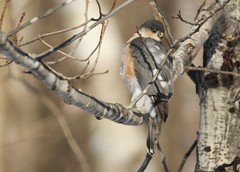 Sharp-shinned Hawk (mbmcclintock) Tags: sharpshinned