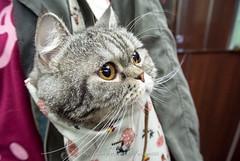 DSC_7218 (archiwu945) Tags: cat 台灣 寵物 貓 高雄市 nikon1 鼓山區 nikon1v1