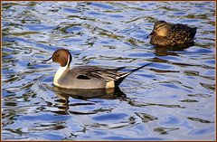 Northern Pintail (* RICHARD M (Over 5.5 million views)) Tags: lake nature water birds reflections wildlife ducks ripples ornithology southport merseyside northernpintail sefton anasacuta heskethpark