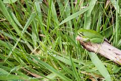 Camouflage Frog (Daniel|Martins) Tags: grass frog sapo tomar erva coito danielmartins