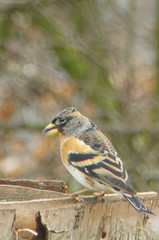 Brambling (AnneTanne) Tags: aves keep animalia fringilla fringillidae passeriformes chordata brambling fringillamontifringilla montifringilla taxonomy:order=passeriformes taxonomy:class=aves taxonomy:kingdom=animalia taxonomy:phylum=chordata taxonomy:family=fringillidae taxonomy:genus=fringilla taxonomy:binomial=fringillamontifringilla taxonomy:species=montifringilla taxonomy:common=brambling taxonomy:common=keep inaturalist:observation=201458