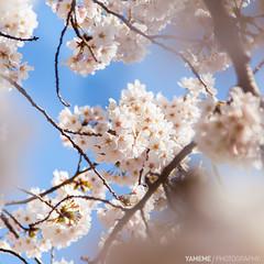 Cherry Blossoms / Tokyo, Japan (yameme) Tags: travel flowers nature japan canon eos tokyo shinjuku bokeh  sakura cherryblossoms      shinjukugyoen   24105mmlis  5dmarkii 5d2