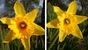 Daffs diptych (DavidCooperOrton) Tags: daffodils day52 day52365 3652013 365the2013edition 21feb13