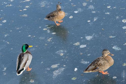 Ducks ©  Igor Matveenkov