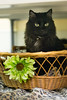 Baby Powder (Save-A-Pet Adoption Center) Tags: holiday black senior female cat spring adopted babypowder saveapet 2013 permanentfoster
