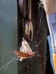 R.I.P. (WHO 2003) Tags: rip moth cobwebs