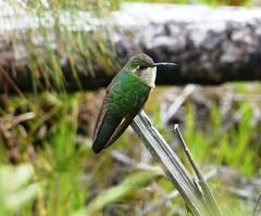 Hispaniolan Emerald - female (tapaculo99) Tags: birds hummingbird dominicanrepublic aves emerald picoduarte chlorostilbonswainsonii hispaniolanemerald