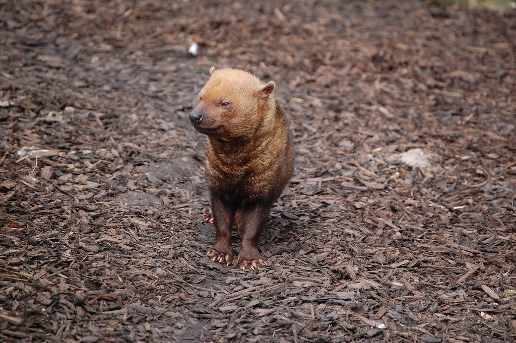 Bush Dog - Twycross Zoo