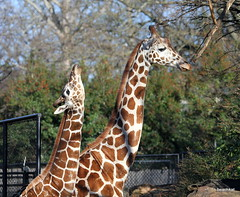 look, I'm almost as tall as you (beachkat1) Tags: giraffe zooatlanta