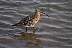 Curlew (Dartmoor Mike) Tags: bird birds quay devon curlew bideford