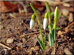 Spring is coming (Ostseetroll) Tags: spring olympus snowdrop galanthus frhling bote schneeglckchen e620