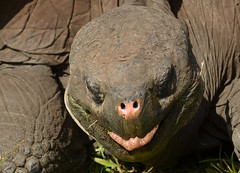 Galapagos - Santa Cruz Island - Tortoise Sanctuary - Giant Tortoise (2) (sweetpeapolly2012) Tags: