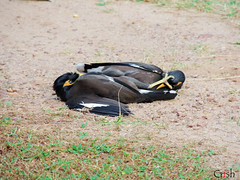 Kung Fu Myna (CrishyM) Tags: birds animals fight nikon asia gang martialarts kungfu srilanka fighting rare survivors myna mynah violentbirds