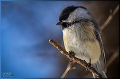 Chickadee ♂ (D-TaiL) Tags: bird flickr plan vision chickadee gros photographe quebecois dtail