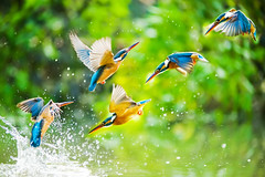 Kingfisher () Tags: park blue wild portrait orange lake fish bird nature water ecology animal closeup fauna river observation fly fishing colorful branch natural bright outdoor background wildlife watching wing beak feather taiwan peaceful aves clear observe sit kingfisher perch environment colourful lovely common biology ornithology rare tailed protected alcedo