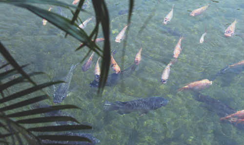 Tilapia swim in the pond at WorldFish headquarters in Penang, Malaysia. Photo by Holly Holmes, 2013