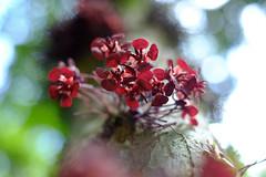 (zenog) Tags: jardimbotanico manualfocus cacauflower fujinon35mmf14