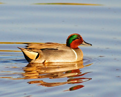 Green-winged Teal, 03/15/13 (VinCar927) Tags: arizona birds riparianranchatwaterpreserve