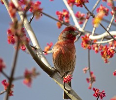 House Finch UVic (Alejandro Erickson) Tags: