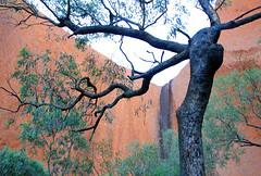 tree Kantju Gorge ayers rock Uluru Kata Tjuta National Park red centre central Australia NT 2013_6609 (gervo1865_2 - LJ Gervasoni) Tags: park red weather rock project march desert centre central australia national uluru kata tjuta geology northern ayers monolith territory 2013 photographerljgervasoni