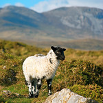 "Bog Road Lamb <a style=""margin-left:10px; font-size:0.8em;"" href=""http://www.flickr.com/photos/89335711@N00/8596020244/"" target=""_blank"">@flickr</a>"
