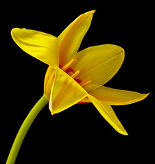 We could pretend its Spring. (yamstar1(Internet problems).) Tags: flower yellow tulip flowerthequietbeauty