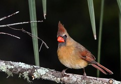 Lady Cardinal (minds-eye) Tags: wild bird cardinal florida femalecardinal wildflorida
