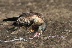 Red Kite, Yorkshire, 30th March 2013 . A.Dancy CR 280a (Adrian Dancy) Tags: bird farmland raptor birdofprey redkite milvusmilvus sigmalenses sigma500f45ex