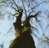 old old  tree (SusanCK) Tags: tree susancksphoto