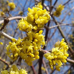 Shining Brightly. Cornus mas, Cornelian Cherry, Meentweg, Glimmen, Groningen, The Netherlands (Rana Pipiens) Tags: yellow bees soe yellowflowers stork corneliancherry cornusmas supershot flickraward mygearandme blinkagain abrahammunting poisonoushoney glimmengroningenthenetherlands