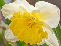Daffodil (JacquiTnature) Tags: sunlight flower nature sunshine bulb spring blossom daffodil bloom narcissus jonquil amaryllidaceae flowersandplants jacquit