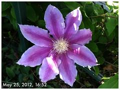 two-toned Clematis (jennifer l areaux) Tags: flowers garden heart clematis honey columbine bleeding suckle