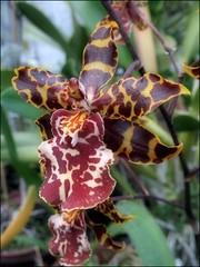 (Tölgyesi Kata) Tags: orchid orchidea colmanarawildcat hybrid füvészkert botanikuskert botanicalgarden withcanonpowershota620 greenhouse üvegház budapest flower fleur virág zöld