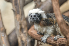Cotton Top Tamarin (Eric Kilby) Tags: park boston zoo monkey franklin branch tamarin cottontop