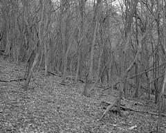 Queensdown Woods (Paul David Kemp) Tags: wood trees england blackandwhite bw film nature landscape sussex blackwhite woods brighton unitedkingdom hove urbannature 4x5 eastsussex largeformat 135mm portslade 5x4 fomapan100 fieldcamera wista wista45 moulsecombwildpark