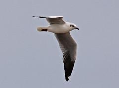 Th13_05559a (jerryoldenettel) Tags: bird thailand gull larus laridae charadriiformes 2013 brownheadedgull larusbrunnicephalus laemphakbia laemphakbiasandspit
