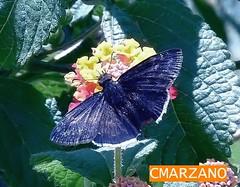 Erynnis funeralis Scudder et Burguess, 1870 (CARLOS MARZANO) Tags: argentina san lepidoptera luis mariposas pyrginae hesperidae sphyngidae TAXONOMY:BYNOMIAL=erynisfuneralis