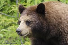 Cinnamon bear looking at me (LisaHufnagel) Tags: bear nature beautiful photography nikon bc britishcolumbia bears columbia british blackbear cinnamonbear d7000 ursusamericanuscinnamomum