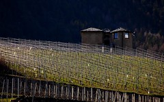 sparkle (enki22) Tags: nature vineyard sparkle enki22
