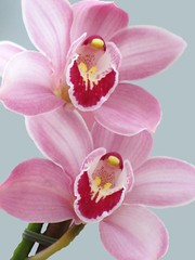 Orchid Duo (Cher12861) Tags: pink flowers macro nature fleur beauty closeup petals flora soft orchids softness pastels orchidsbyhausermann villaparkillinois mygearandme flowerthequietbeauty fromfebruary2013 photoshoppedtopaintoverthebackground