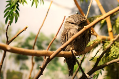 Tawny Frogmouth on Branch (Eric Kilby) Tags: park bird boston zoo franklin branch resting tawny frogmouth