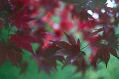 Japanese Maple (dichohecho) Tags: autumn winter red film leaves analog japanesemaple acer analogue pentaxmesuper fujisuperia400 westonbirtarboretum ubuphotosoc roll59 dichohecho