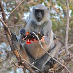 Langur Monkey, Gir Forest, Gujarat (Sekitar - away) Tags: park india na