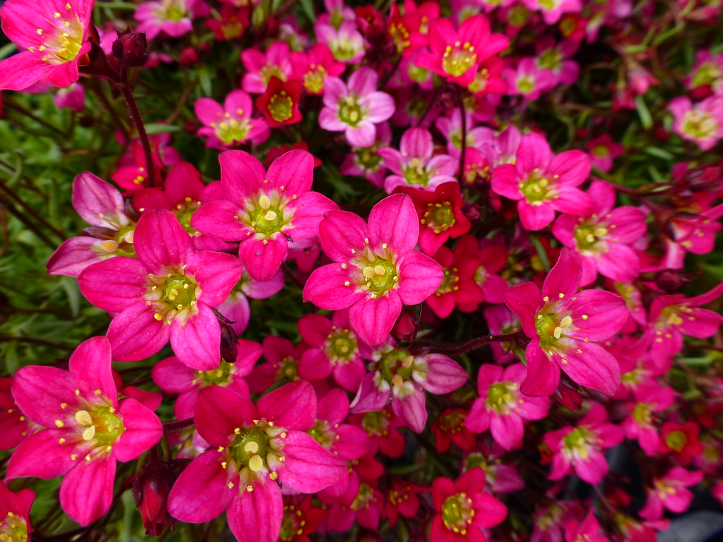 The worlds most recently posted photos of garden and walmart saxifrage toby garden tags garden border nj center walmart perennial boonton saxifrage mightylinksfo