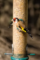Goldfinch-13 April 2013 (Martyn Gill - IMAGES -731,000 Views - Thank You...) Tags: uk bird beautiful sunshine canon 350d spring feeding goldfinch colourful westyorkshire rspb fairburnings yahoo:yourpictures=nature martyngillphotography2013